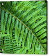 Ferns After A Spring Rain Acrylic Print