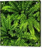 Ferns After The Rain Acrylic Print