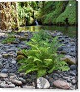 Ferns Along Banks Of Eagle Creek Acrylic Print