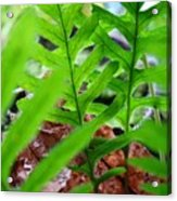 Ferns Art Prints Forest Ferns Giclee Art Prints Basle Troutman Acrylic Print