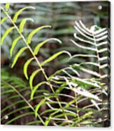 Ferns In Natural Light Acrylic Print