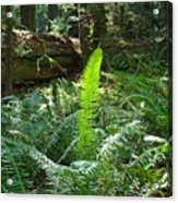 Ferns Sunlit Redwood Forest Fern Giclee Art Prints Baslee Troutman Acrylic Print