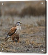 Ferruginous Hawk In Field Acrylic Print