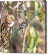 Ferruginous Pygmy-owl Acrylic Print