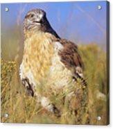 Feruginous Hawk Acrylic Print