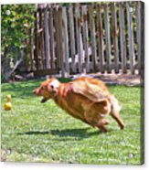 Fetch Excellance Acrylic Print