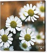 Feverfew Plant Acrylic Print