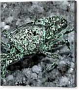 Fiddler Crab - Photosbydm Acrylic Print