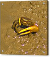 Fiddler Crab Acrylic Print