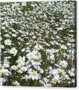 Field Dasies Acrylic Print