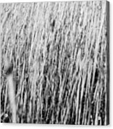Field Grasses Acrylic Print