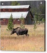 Field Moose Acrylic Print