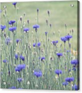 Field Of Bachelor Buttons Acrylic Print
