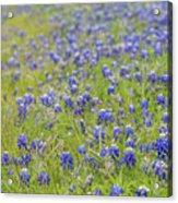 Field Of Blue Bonnet Flowers Acrylic Print