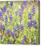 Field Of Blue Lupines  Acrylic Print