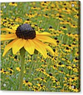 Field Of Coneflowers Acrylic Print