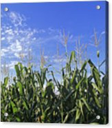 Field Of Corn Against A Clear Blue Sky Acrylic Print