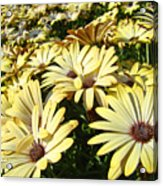 Field Of Daisies Landscape Floral Art Prints Daisy Baslee Troutman Acrylic Print