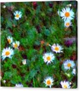 Field Of Daisys  Acrylic Print