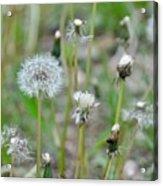Dandelions In Seed Acrylic Print