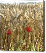 Field Of Dreams Acrylic Print
