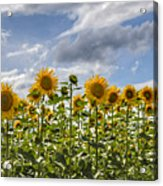 Field Of Dreams Panorama Acrylic Print