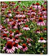 Field Of Echinacea Acrylic Print