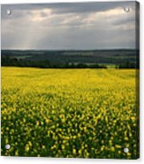 Field Of Gold Sherbrooke Quebec Canada Acrylic Print