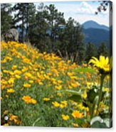 Field Of Golden  Poppies Acrylic Print