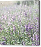 Field Of Lavender Flowers Acrylic Print by Beverly Cazzell