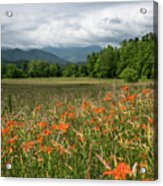 Field Of Orange Daylilies Acrylic Print