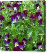 Field Of Pansy's Acrylic Print