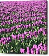 Field Of Purple Flowers Acrylic Print
