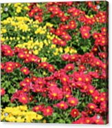 Field Of Red And Yellow Flowers Acrylic Print
