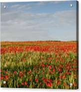 Field Of Red Poppy Anemones Late In Spring  Acrylic Print