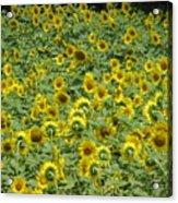 Field Of Sun Acrylic Print
