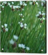 Field Of Tiny Flowers Acrylic Print