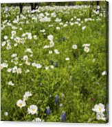 Field Of White Poppies Acrylic Print