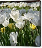 Field Of White Tulips Acrylic Print