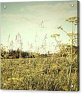 Field Of Wild Dill In The Afternoon Sun  Acrylic Print by Sandra Cunningham