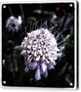 Field Scabious. A Member Of The Acrylic Print