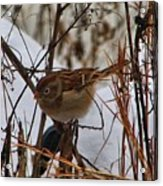 Field Sparrow Acrylic Print