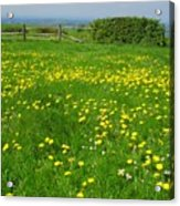 Field With Yellow Flowers Acrylic Print