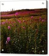 Fields In Pink Acrylic Print