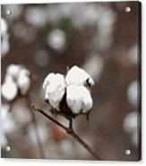 Fields Of Cotton Acrylic Print