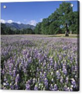 Fields Of Lupine And Owl Clover Acrylic Print