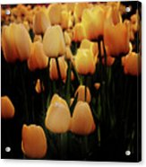 Fields Of Yellow Tulips Acrylic Print