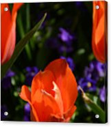 Fiery Colored Tulips Acrylic Print