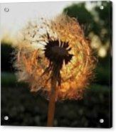 Fiery Dandelion Acrylic Print