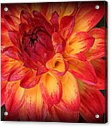 Fiery Red And Yellow Dahlia Acrylic Print